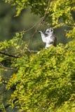 Lemur Ring-tailed - catta de Lemur photo libre de droits