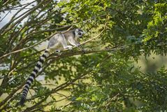 Lemur Ring-tailed - catta de Lemur photographie stock