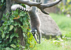 Lemur Ring-tailed (catta de lemur) Images libres de droits