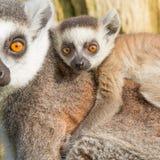 Lemur Ring-tailed (catta de Lemur) Photos libres de droits