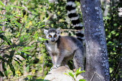 Lemur Ring-tailed, catta de lemur, Anja Photo libre de droits
