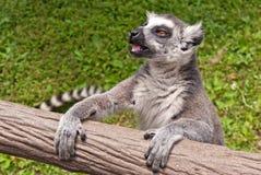 Lemur Ring-tailed (catta del Lemur) Fotos de archivo libres de regalías
