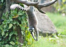 Lemur Ring-tailed (catta del lemur) Imágenes de archivo libres de regalías