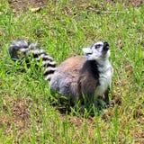 Lemur Ring-tailed - catta do Lemur Fotos de Stock Royalty Free