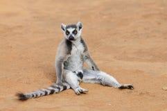 Lemur Ring-Tailed che si siede sulla terra Fotografia Stock
