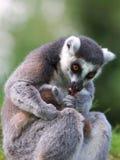 Lemur Ring-tailed con appena il bambino nato Immagine Stock Libera da Diritti