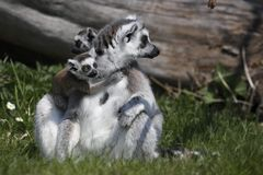 Lemur Ring-tailed con due giovani Fotografia Stock Libera da Diritti