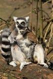 Lemur Ring-tailed con un bambino Fotografie Stock