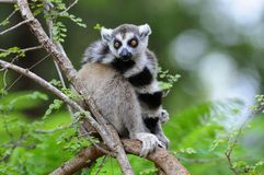 Lemur Ring-Tailed dans un arbre Images stock