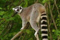 Lemur Ring-tailed del mono Foto de archivo libre de regalías
