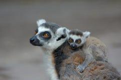 Lemur ring-tailed do bebê fotos de stock