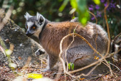 Lemur. Ring-tailed lemur on the ground in Madagascar, Africa Royalty Free Stock Image