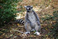 Lemur Ring-tailed imágenes de archivo libres de regalías