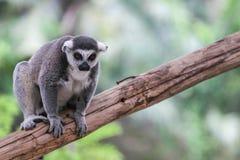 Lemur Ring-tailed (Lemur Catta) imagen de archivo libre de regalías