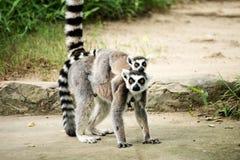 Lemur Ring-tailed (Lemur Catta) Fotos de Stock Royalty Free