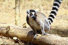 Lemur Ring-tailed (Lemur Catta) Photos stock