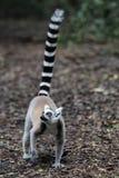 Lemur Ring-tailed (Lemur Catta) Immagine Stock