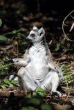 Lemur Ring-tailed (Lemur Catta) Fotografia Stock Libera da Diritti