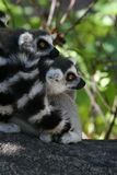 Lemur Ring-tailed (Lemur Catta) Fotografie Stock
