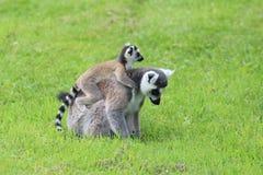 Lemur Ring-tailed (Lemur Catta) Fotografía de archivo