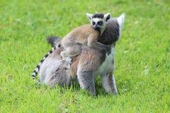 Lemur Ring-tailed (Lemur Catta) Imágenes de archivo libres de regalías