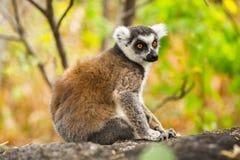 Lemur. Ring-tailed lemurs in Madagascar Royalty Free Stock Photography