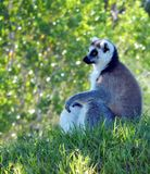 Ring-tailed Lemur (Lemur catta) Royalty Free Stock Images