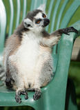 Lemur Ring-Tailed nel deckhair Fotografia Stock