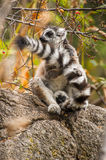 Lemur. Ring-tailed lemur plays with the tail in Madagascar, Africa Stock Photography