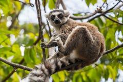 Lemur. Ring-tailed lemur portrait in Madagascar, Africa Stock Images