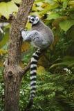 Lemur Ring-tailed que se sienta en árbol Imágenes de archivo libres de regalías