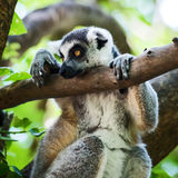 Lemur. Ring-tailed, lemur sadly wanted to be a forest royalty free stock image