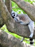 Lemur Ring-Tailed sonolento imagem de stock