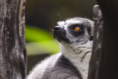 Lemur. Ring-tailed lemur in a tree looking up Royalty Free Stock Image