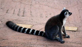 Lemur. Ring tailed lemur in the zoo Stock Photography