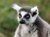 Lemur Ringtailed Photo stock