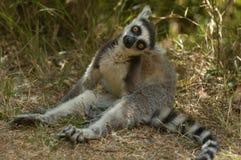 Lemur Ringtailed Imagem de Stock