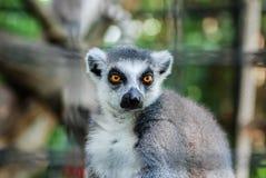 lemur ringtailed Стоковое Изображение RF