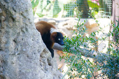 Lemur Rock Royalty Free Stock Images