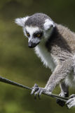 Lemur on a rope Royalty Free Stock Photos