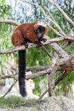 Lemur rosso di Ruffed Fotografie Stock Libere da Diritti