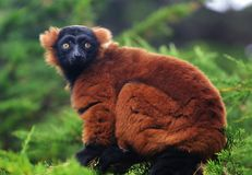 Lemur rosso di Ruffed Immagine Stock