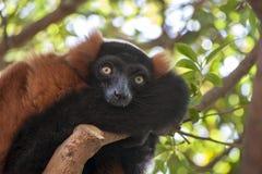 Lemur rosso di Ruffed Fotografie Stock