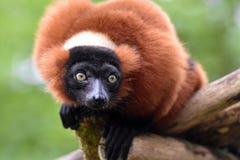 Lemur rosso di Ruffed Fotografia Stock