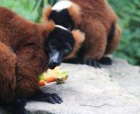 Lemur rosso di Ruffed Fotografia Stock Libera da Diritti