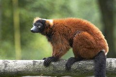 Lemur rouge de Ruffed Images libres de droits