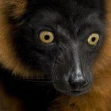 Lemur rouge de Ruffed Photographie stock