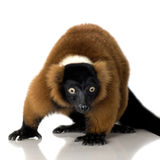 Lemur rouge de Ruffed Images stock
