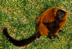 Lemur rouge de Ruffed avec un regard soupçonneux Photos stock