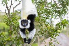 Lemur ruffed in bianco e nero Fotografie Stock Libere da Diritti
